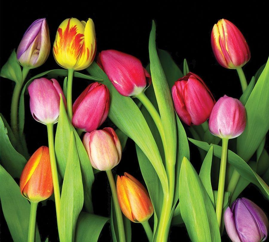 Фотошторы Тюльпаны на темном фоне<br>kit: None; gender: None;