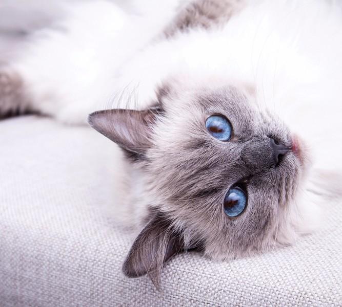 Фотошторы Голубоглазая кошка<br>kit: None; gender: None;