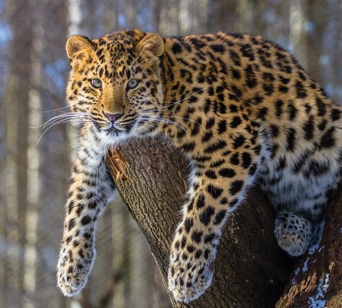 Фотошторы Амурский леопард<br>kit: None; gender: None;