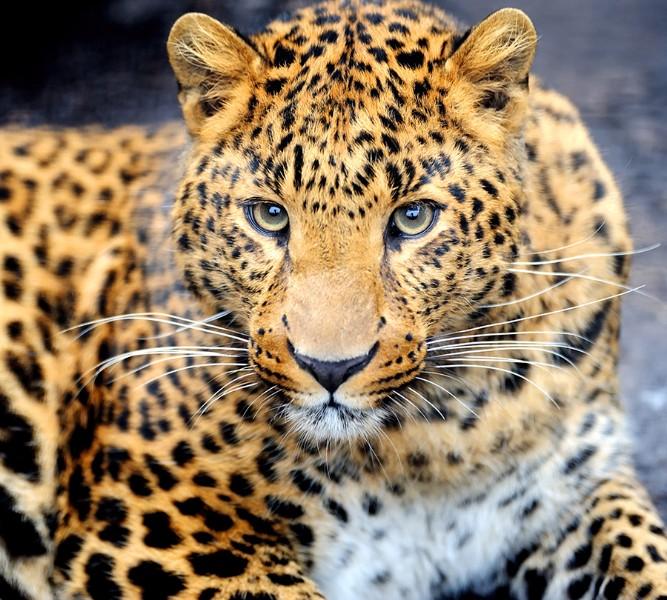 Фотошторы Красивый леопард<br>kit: None; gender: None;
