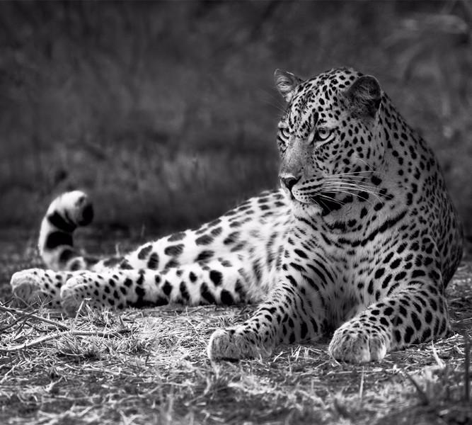 Фотошторы Черно белый леопард<br>kit: None; gender: None;