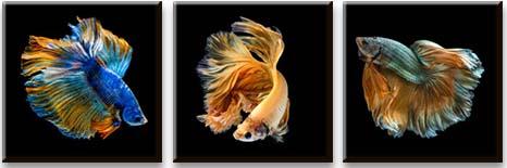 Модульная картина Золотые рыбки<br>kit: None; gender: None;