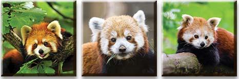 Модульная картина Малая панда<br>kit: None; gender: None;
