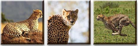 Модульная картина Гепард на охоте<br>kit: None; gender: None;