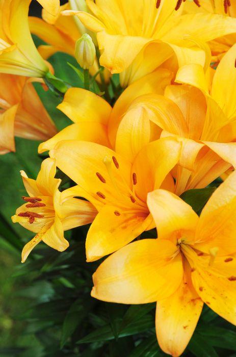 3D Фотообои «Ярко-желтые лилии»<br>kit: None; gender: None;
