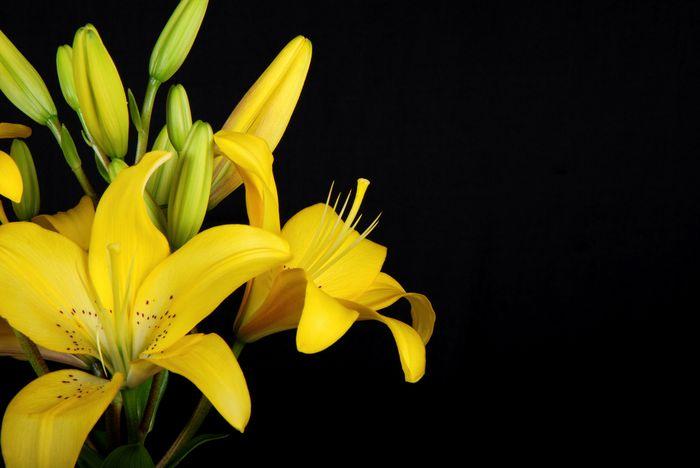 3D Фотообои «Желтые лилии на черном фоне»<br>kit: None; gender: None;