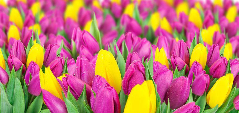 3D Фотообои «Яркие тюльпаны»<br>kit: None; gender: None;