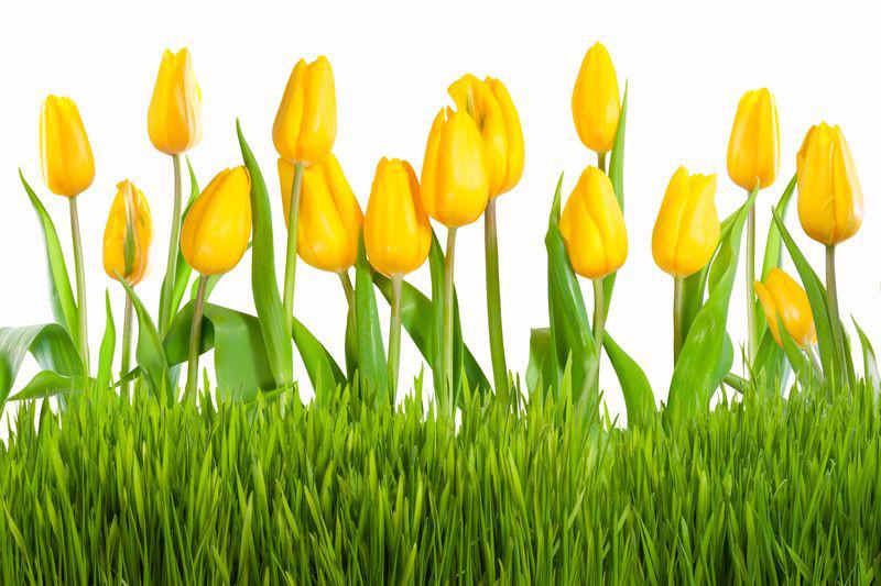 """Фотообои """"«Желтые тюльпаны»"""""""