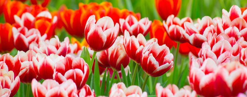 3D Фотообои «Красивые тюльпаны»<br>kit: None; gender: None;