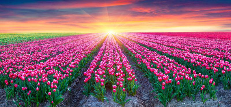3D Фотообои «Поле тюльпанов на закате»<br>kit: None; gender: None;