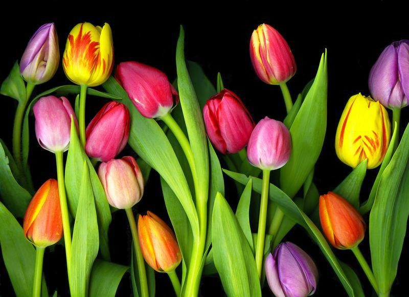 3D Фотообои «Тюльпаны на темном фоне»<br>kit: None; gender: None;