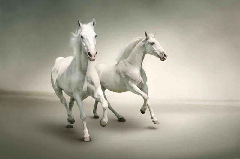 3D Фотообои «Белые лошади на сером фоне»<br>kit: None; gender: None;