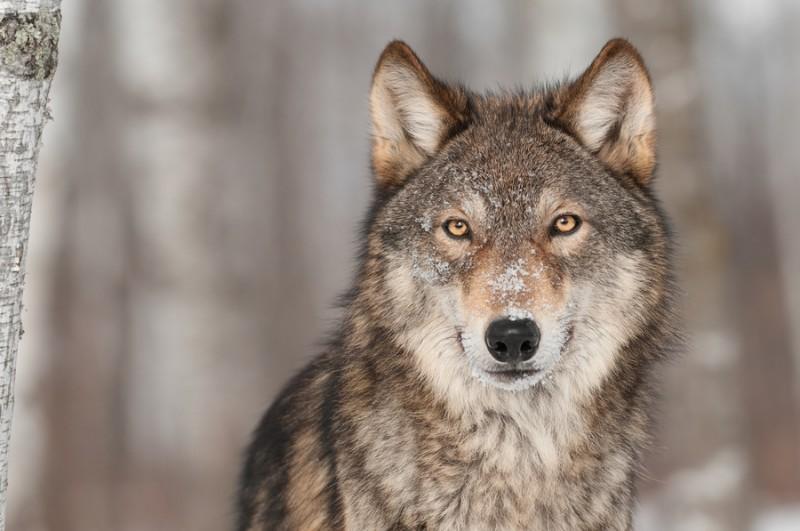 3D Фотообои «Взгляд волка»<br>kit: None; gender: None;