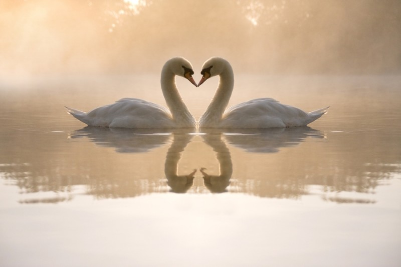 3D Фотообои «Влюбленные лебеди»<br>kit: None; gender: None;