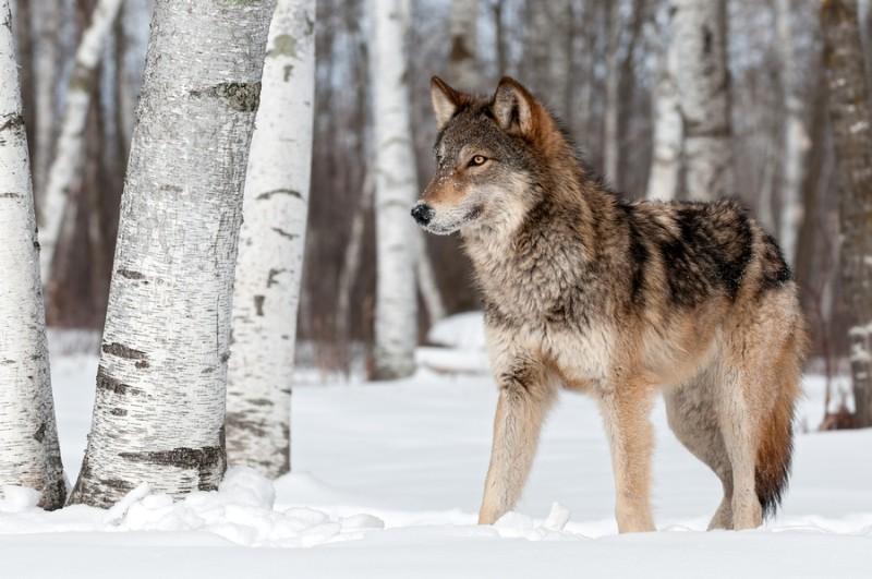 3D Фотообои «Волк в снегу»<br>kit: None; gender: None;