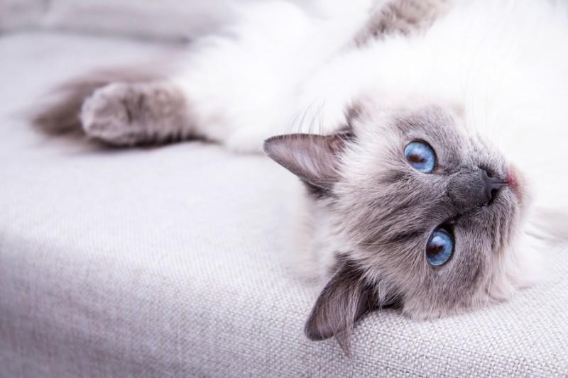 "Фотообои ""«Голубоглазая кошка»"""