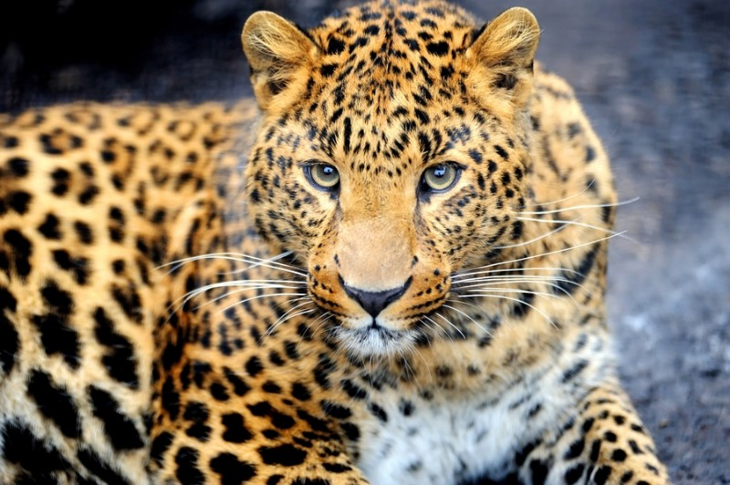 "Фотообои ""«Красивый леопард»"""