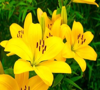 Фотошторы «Яркие желтые лилии »