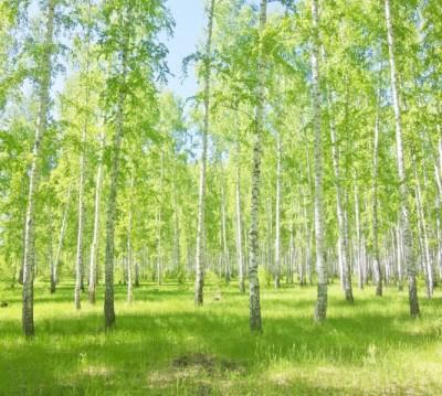 Фотошторы «Березовый лес»