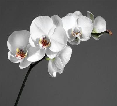 Фотошторы «Белая орхидея на сером фоне»