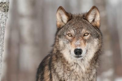 3D Фотообои «Взгляд волка»