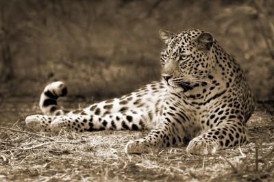 3D Фотообои «Леопард сепия»