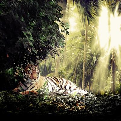 3D Фотообои «Тигр»