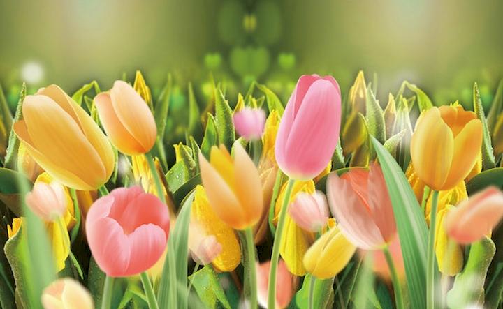 """3D Фотообои  """"Тюльпаны с каплями росы"""""""