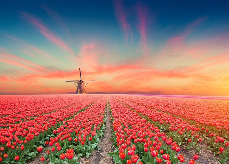 3D Фотообои  Тюльпановое полеФотообои Тюльпановое поле, – какая нежность и стиль в этих цветах. Они будто созданы творцом – без минусов и недостатков. Тюльпан даёт салют счастью и красоте, каждый год он приносит в мир весну.<br><br>Миллионы тюльпанов живут вместе на равнинах под бескрайним небом. Море цветов, уходящее в даль – к горизонту, пышные бутоны, открывающися с первыми лучами солнца. Тонкий и душистый запах.<br><br>Изображения этих удивительных растений прекрасно подойдут для оформления: спальни и гостиной. Подчеркнут Ваш утонченный вкус, создадут уникальный интерьер в Вашем доме.<br>kit: None; gender: None;