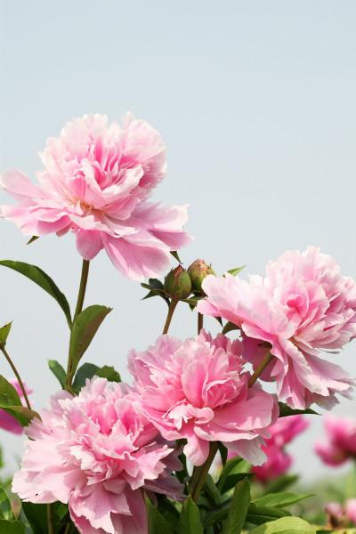 """3D Фотообои """"Розовые пионы"""""""