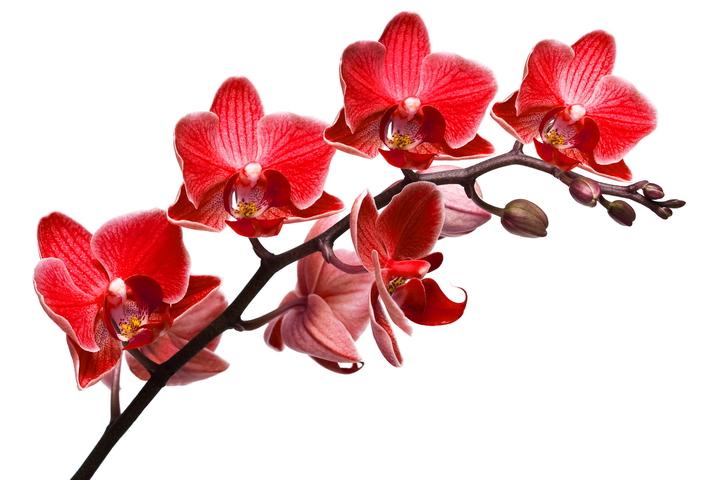 """3D Фотообои  """"Красная орхидея"""""""