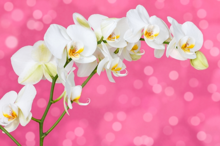 "3D фотообои ""Белая орхидея на розовом фоне"" вид 1"