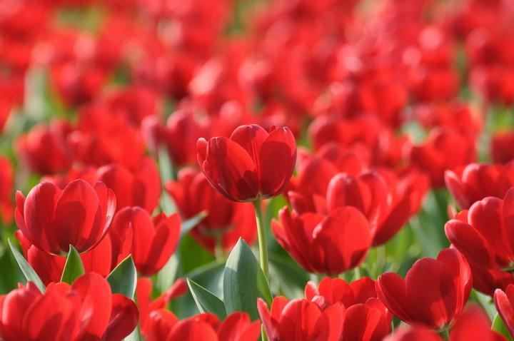 """Фотообои """"3D Фотообои  """"Красные тюльпаны"""" """""""