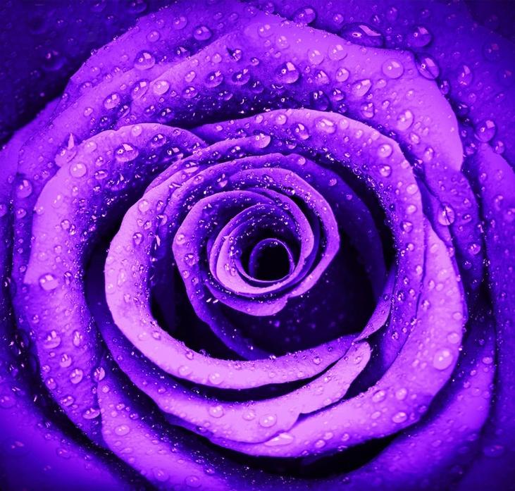 """3D Фотообои """"Фиолетовая роза с каплями"""""""