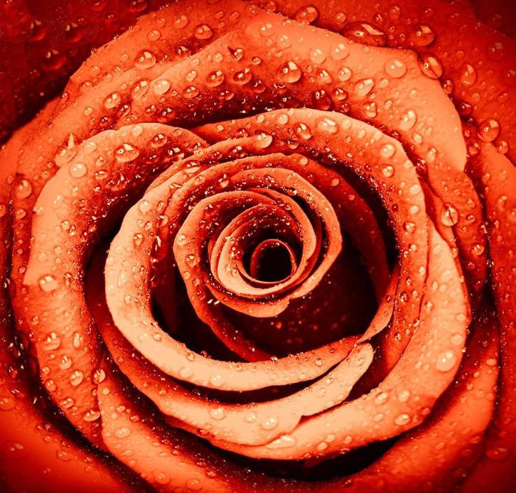 3D Фотообои Красная роза с каплями росыРоза также известна как цветок любви, уже давно она является символом красоты, в Древней Греции и Древнем Риме народ символизировал с розой их любовь к Богу.<br><br>Нежная фактура этих 3д обоев, создает тихую и спокойную атмосферу блаженства, в то же время обеспечивая вам возможность , выразить свои чувства.<br>kit: None; gender: None;
