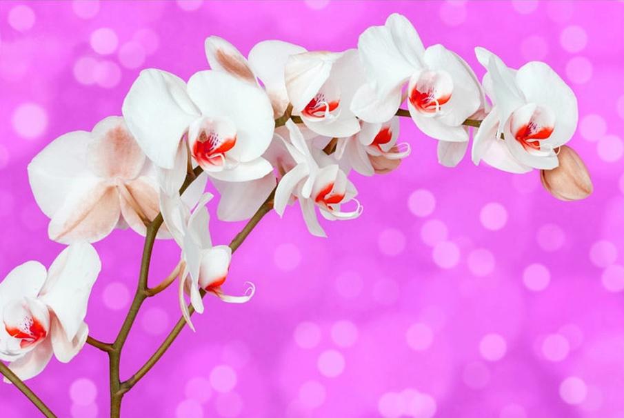 """3D Фотообои """"Белая орхидея на розовом фоне"""""""