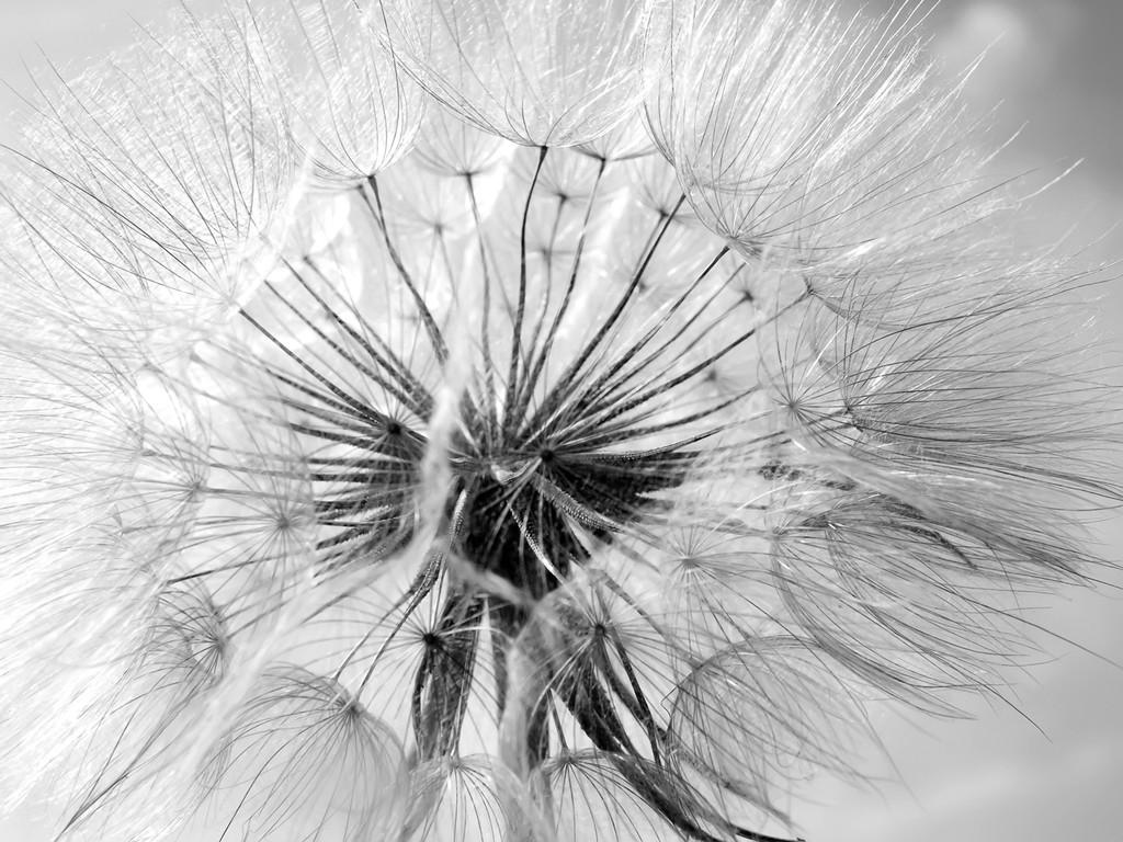 3D Фотообои ОдуванчикС детства знакомые цветы, озарят Вашу комнату теплом и уютом. Фотообои «Одуванчик» - это эксклюзив и восторг, высококачественное изображение отлично впишется в Ваш интерьер.<br><br>Золотистый цветок – неприметной красоты. Одуванчик. Как чудесно создан он, круглый и пушистый, на высоком стебле вздымается к синеве небес.<br><br>Одуванчики любимчики солнца, оно ласкает их своими лучами, согревая каждый лепесток. Но придет время, и ветер унесет рой пушинок по всей земле. Оставив нам приятные воспоминания.<br>kit: None; gender: None;