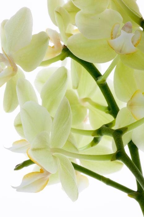 3D Фотообои «Орхидея на белом фоне»<br>kit: None; gender: None;