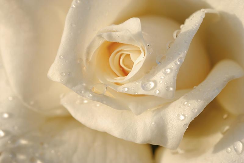 3D фотообои «Утренняя роза» вид 1