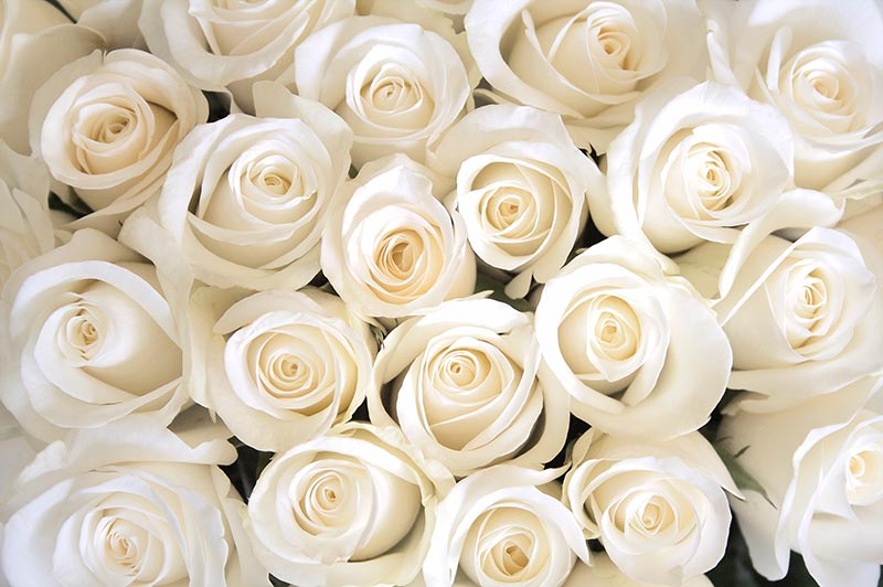 3D фотообои «Нежные белые розы» вид 1