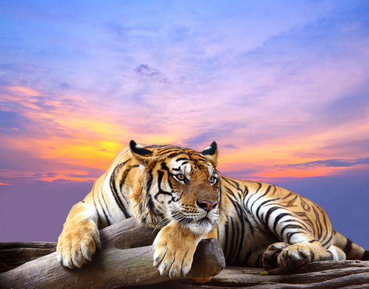"""3D Фотообои  """"Бенгальский тигр на ветке"""""""