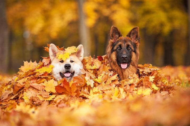 """3D Фотообои  """"Собаки в листьях"""""""