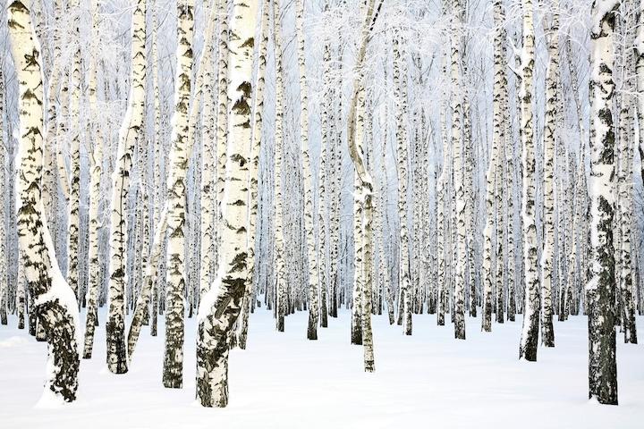 """Фотообои """"3D Фотообои  """"Березки в зимнем лесу"""" """""""