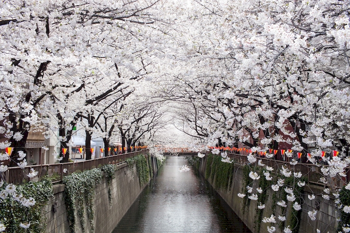 3D Фотообои  Цветущая вишня над каналом Накамегуро<br>kit: None; gender: None;