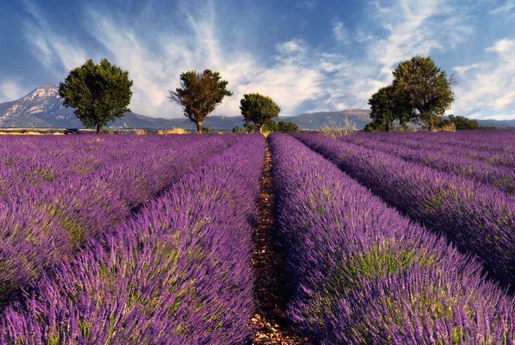3D Фотообои  Лавандовое полеФранция. Прованс. Что ассоциируется с этой деревенской французской областью. Правильно! Конечно же, Лаванда. Она придает удивительные краски природным ландшафтам - от дымчато-лиловых до сине-фиолетовых.<br><br>В Провансе из лаванды производятся, множество различных изделий мыло, эфирные масла, мёд, букеты и мешочки с засушенными цветами.<br><br>Среди фантастических пейзажей настоящей французской глубинки едва ли найдутся более красивые, чем лавандовые поля.<br><br>Уходящие стройными фиолетовыми полосами за горизонт нежно-фиолетовые кусты лаванды кажутся сказочным полотном, на котором хочется уснуть в ожидании волшебства.<br><br>Фотообои 3д «Лавандовое поле» подарят восторг и ежедневное наслаждение интерьером, внесут комфорт и уют в Ваш дом. Будут радовать Вас и Ваших близких своей красотой и изяществом.<br>kit: None; gender: None;