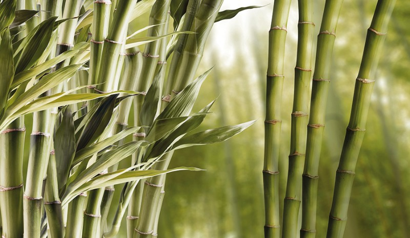 3D Фотообои БамбукНевероятно прочный материал. Это растение с красивым плотным стеблем широко используется в различных целях, таких как: пропитание для животных и людей, ароматическое средство; в садоводстве, для изготовления музыкальных инструментов и предметов обихода; в качестве оружия, сырья; очень ценится в строении.<br><br>Бамбук имеет большое культурное значение, связан с символикой разных стран. Интерьер с его изображением прекрасно украсит Ваше помещение, придаст ему особый тропический вид, унесет мыслями в мир грез и фантазий о манящем и всегда желанном, долгожданном отдыхе.<br><br>На картине образ густого, слегка притемнённого покрова из переплетений деревьев, который хорошо подходит для варианта спальной комнаты.<br><br>Стиль, в котором выполнены 3д Фотообои «Бамбук» позволяет достичь глубокого расслабления.<br><br>Подарите себе истинное удовольствие, наслаждаясь атмосферой спокойствия и чувством релакса, которую излучает данная инсталляция, подарите комфорт и уют себе и своим близким.<br>kit: None; gender: None;