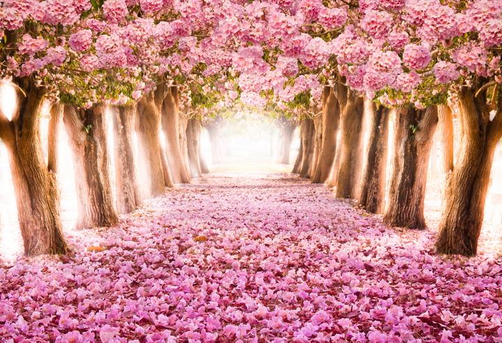 Сакура в цвету - Фотообои на стену: oboi-3d.ru/3d-fotooboi-dlja-sten-v-interere-foto/priroda/sakura-v...