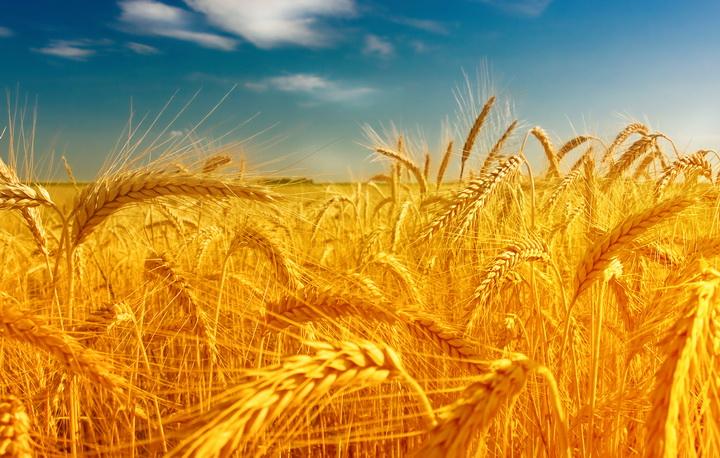 3D Фотообои  Пшеница<br>kit: None; gender: None;