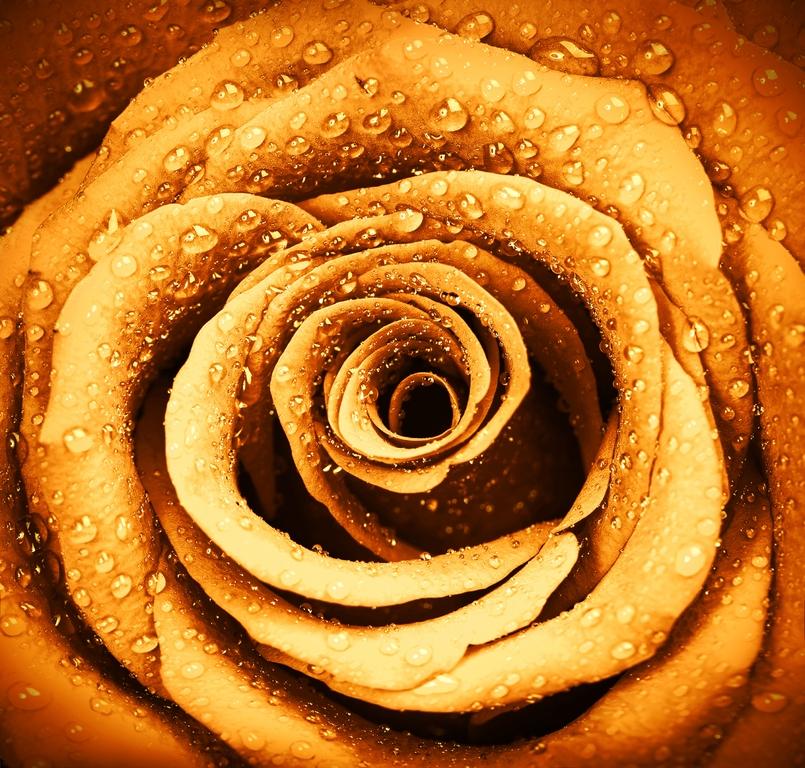 """3D Фотообои  """"Желтая роза с каплями"""""""