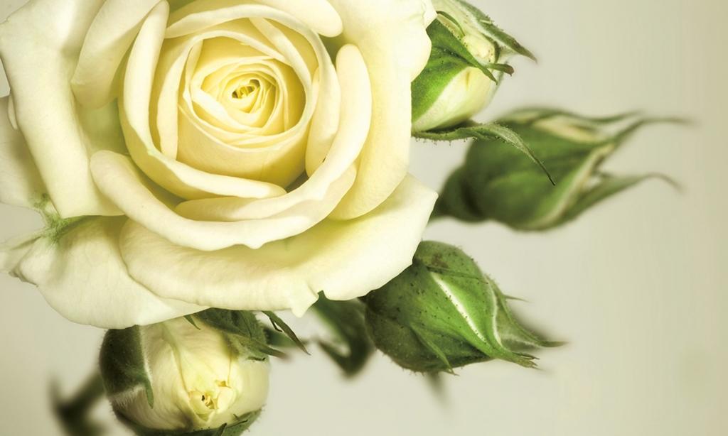 3D Фотообои  Бежевая роза<br>kit: None; gender: None;